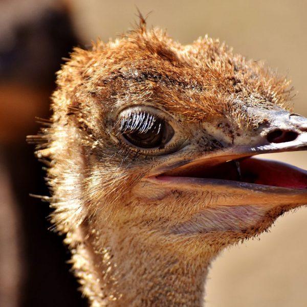 ostrich-farm-11